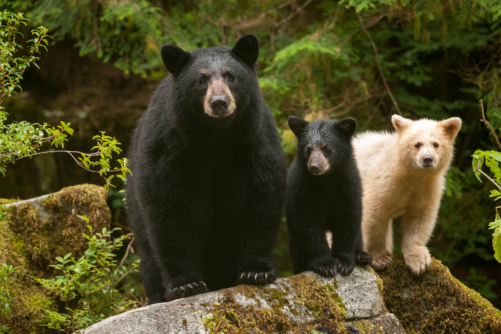 Bear Family – Photo Credit Ian McAllister / Pacific Wild